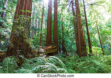 redwood forest - picture of coastal redwood forest in...
