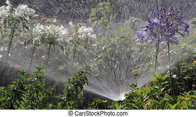 Agapanthus Flowerbed Irrigation - Garden Irrigation Spray...