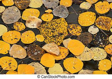 Autumn Aspen Abstract - Golden autumn aspen leaves with...