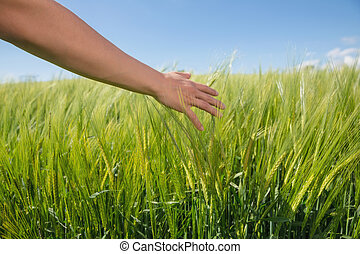 Womans hand touching wheat in field on a sunny day in the...