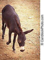 European donkey on the farm