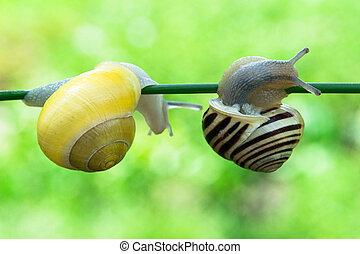 Edible snails Helix pomatia - Edible snails Helix pomatia...