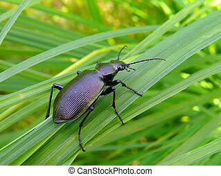 Beetle Carabus 4 - Close up of a brilliant beetle carabus...