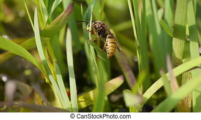 Wasp climbing a blade of grass - Wasp climbing up and down a...