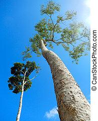Arvores enormes que faz parte flora de Porto Seguro