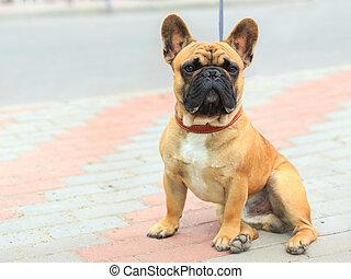 Doméstico, cão, francês, buldogue,...