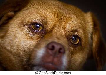 Faithful dog eyes