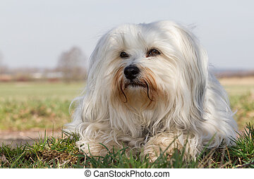 Loose and relaxed is a white Havanese in the green grass and...