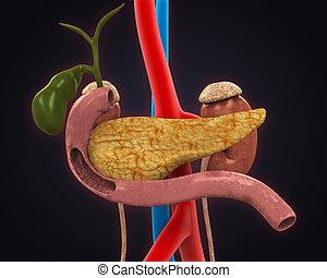 Pancreas, Gallbladder and Duodenum Anatomy. 3D render