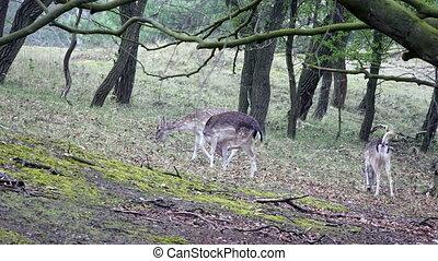 Fallow deer eating grass in a forest