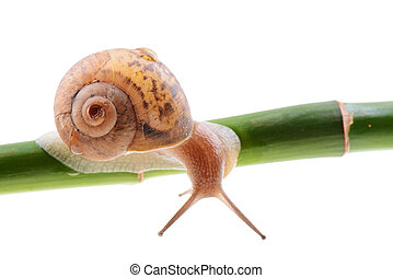 Snail on a green bamboo stem - Small brown snail on a green...