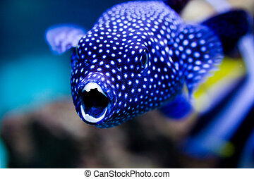 Arothron hispidus - aquarium shot of a coral blowfish...