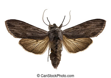 Shark Moth isolated on white