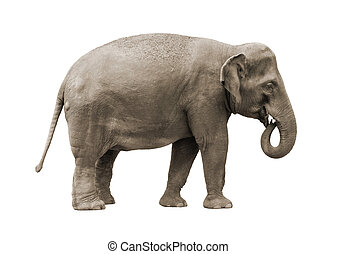 Elephant - Asian elephant female isolated on white...
