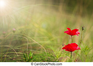 red poppy flowers on a soft background with selective focus...