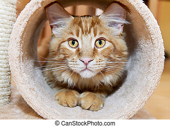 Maine Coon Kitten playing in tube of scratching post