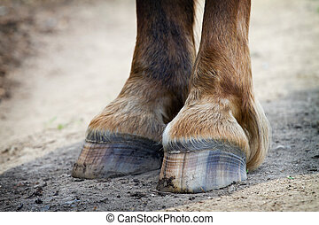 Detail of rear hooves horse