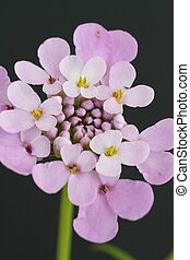 Candytuft (Iberis) - Candytuft