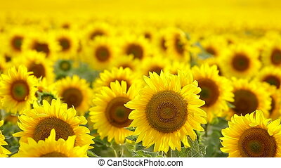 Sunflower field, backlit - Sunflower field, backlit,...