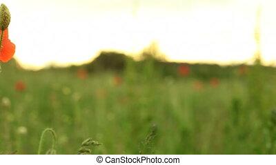 Red common poppy flower. Full HD - Red common poppy flower...