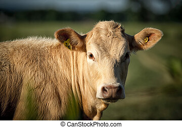 Light Colored Brown Beige Cow Close-up - Closeup image of a...