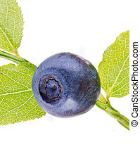 Whortleberry - A forest berry is a whortleberry, it is...