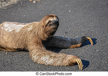 Sloth crossing a Road at Costa Rica - Sloth trying to cross...