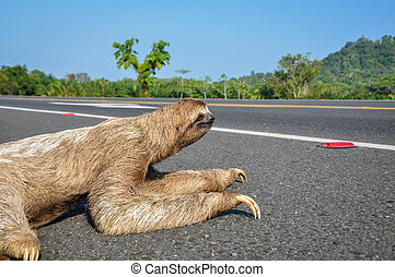 Sloth crossing the Road at Costa Rica - Sloth trying to...