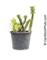 Ornamental Hemp Cactus Isolated on White Background -...