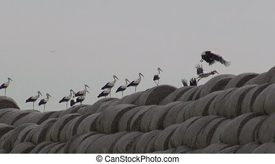 big group white storks on straw bales and yellow rapeseed...