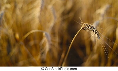 Wheat ears in Agricultural field - Wheat ears in...