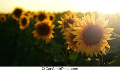 Sunflower agricultural field in sunset 1920x1080 full hd...