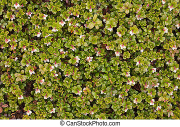 Arctostaphylos uva ursi flowering - background