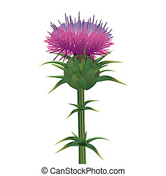 Milk thistle , Silybum marianum isolated on white. Vector...