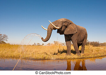 Elephant - Wild African elephant in the wilderness