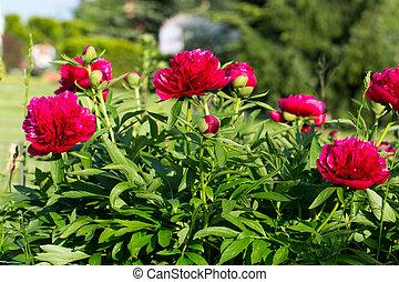 peonies, red flowers in the garden