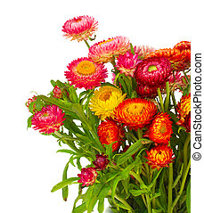 Everlasting flowers - fresh Everlasting flowers bouquet...