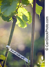 riesling - grapevines (riesling), Alsace, France