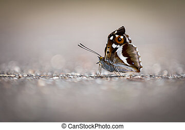Street butterfly - The little butterfly has sat down on the...