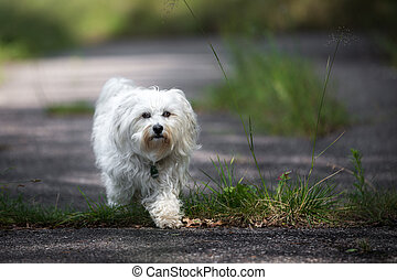 Step by Step - A small white Havanese goes leisurely about...