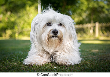 Good Dog - Brav and patiently sits a little white Havanese...