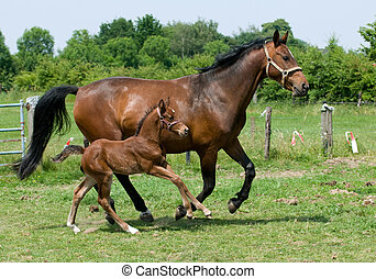 Running Horses - Mother horse and son running though the...