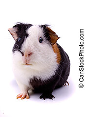 Guinea pig isolated on white - Guinea pig, pet animal...