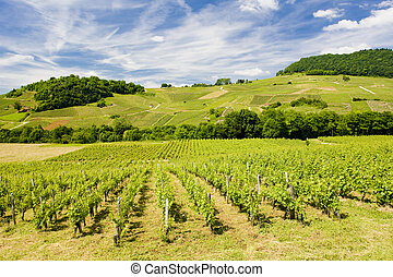 vineyards near Chateau Chalon, D�partement Jura,...