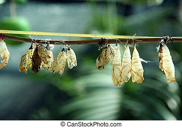 cocoon - From a close cocoon the beautiful butterfly was...