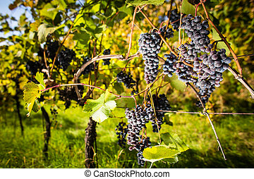 Large bunches of red wine grapes hang from an old vine
