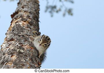 Chipmunk - The chipmunk on a tree in the wood looks in a...