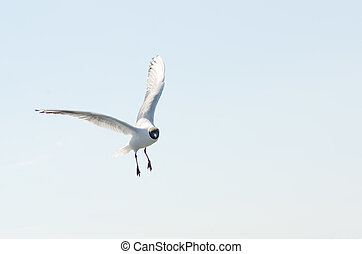 Flying gull (mew, seagull) in the sky