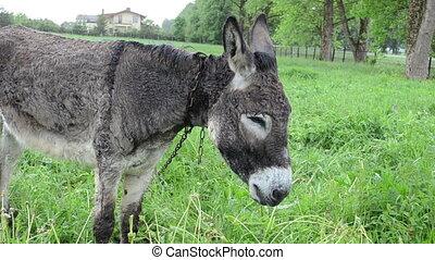donkey grass car rain - Cute wet donkey animal tied with...