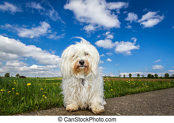 Dog in the countryside - Small white Havanese sitting on the...